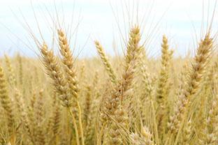 貨幣の代わりに使われていた穀物