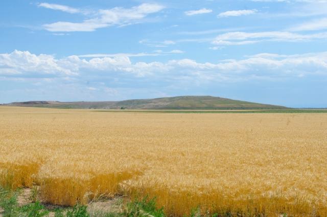 穀物の実る農場